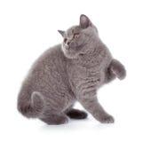 在白色隔绝的相当英国Shorthair蓝色小猫 库存图片