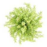 在白色隔绝的稀薄的叶子sedum植物顶视图  库存图片