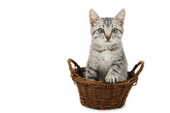 在白色隔绝的篮子的美丽的猫 免版税库存照片