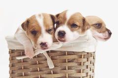 在白色隔绝的篮子的逗人喜爱的小狗 免版税图库摄影