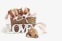 在白色隔绝的篮子的逗人喜爱的小狗 免版税库存图片
