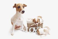 在白色隔绝的篮子的逗人喜爱的小狗 库存图片