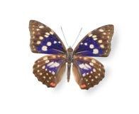 在白色隔绝的米黄和蓝色蝴蝶 免版税库存图片