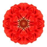 在白色隔绝的红色万花筒大丽花花坛场 库存图片