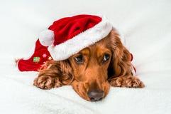 在白色隔绝的红色圣诞节圣诞老人帽子的圣诞节狗 库存图片