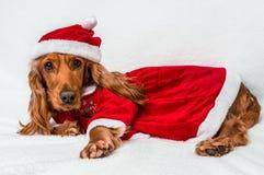 在白色隔绝的红色圣诞节圣诞老人帽子的圣诞节狗 免版税图库摄影