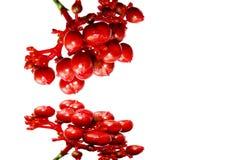 在白色隔绝的红色果子 免版税图库摄影