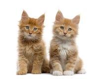 在白色隔绝的红色缅因浣熊小猫 免版税图库摄影