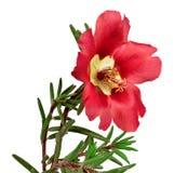 在白色隔绝的红色花portulaca 免版税库存照片
