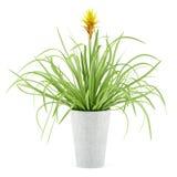 在白色隔绝的罐的Guzmania植物 免版税库存照片