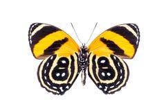 在白色隔绝的美丽的五颜六色的被加点的蝴蝶 库存照片