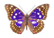 在白色隔绝的美丽的五颜六色的蝴蝶 库存照片