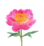在白色隔绝的美丽的桃红色牡丹 免版税库存图片
