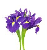 在白色隔绝的美丽的黑暗的紫色虹膜花 免版税库存照片