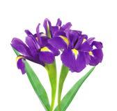 在白色隔绝的美丽的黑暗的紫色虹膜花 库存图片