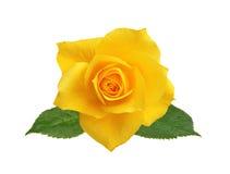 在白色隔绝的美丽的黄色玫瑰 库存照片