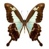 在白色隔绝的美丽的蝴蝶 图库摄影