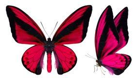 在白色隔绝的美丽的蝴蝶 免版税库存图片