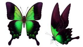 在白色隔绝的美丽的蝴蝶 免版税库存照片
