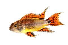 在白色隔绝的美冠鹦鹉矮小的丽鱼科鱼Apistogramma cacatuoides淡水水族馆鱼 图库摄影