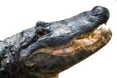 在白色隔绝的美国短吻鳄 图库摄影