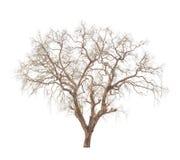 在白色隔绝的老和死的树 免版税库存照片