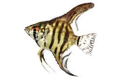 在白色隔绝的老虎大理石神仙鱼pterophyllum scalare水族馆鱼 免版税库存图片