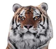 在白色隔绝的老虎顶头特写镜头 免版税库存照片
