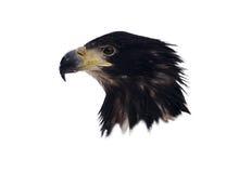 在白色隔绝的老鹰顶头画象 免版税图库摄影