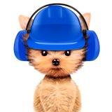 在白色隔绝的耳机的滑稽的狗 库存照片