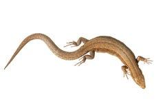在白色隔绝的胎生共同的蜥蜴 库存照片