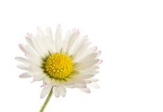 在白色隔绝的自然雏菊花 免版税库存照片