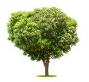 在白色隔绝的芒果树 免版税库存图片