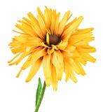 在白色隔绝的花黄金菊 免版税库存照片
