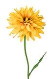 在白色隔绝的花黄金菊 库存照片
