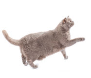 在白色隔绝的英国猫走 库存照片