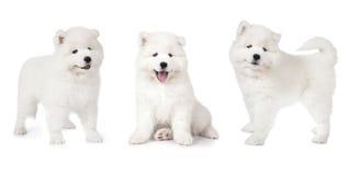 在白色隔绝的萨莫耶特人小狗 免版税库存照片