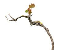 在白色隔绝的葡萄树 库存图片