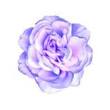 在白色隔绝的蓝色紫色玫瑰花 库存图片