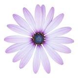 在白色隔绝的蓝色osteospermum雏菊花 免版税库存照片