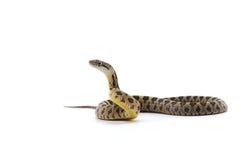 在白色隔绝的蛇 库存图片