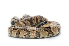 在白色隔绝的蛇 免版税库存照片