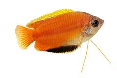在白色隔绝的蜂蜜吻口鱼Trichogaster chuna热带水族馆鱼 库存照片