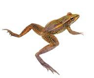 在白色隔绝的豹子青蛙的特写镜头 免版税库存照片