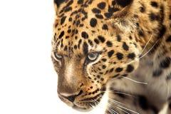 在白色隔绝的豹子头 库存图片