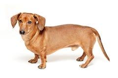 在白色隔绝的逗人喜爱的棕色达克斯猎犬狗 库存照片