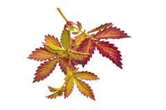在白色隔绝的野生植物的明亮的五颜六色的秋季枝杈 免版税图库摄影