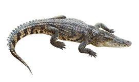 在白色隔绝的野生生物鳄鱼 库存照片