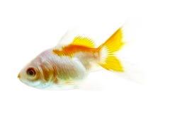 在白色隔绝的金鱼分数维 库存照片