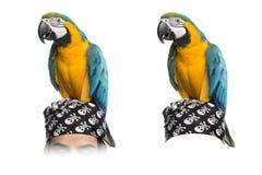 在白色隔绝的青和金子金刚鹦鹉 免版税库存图片